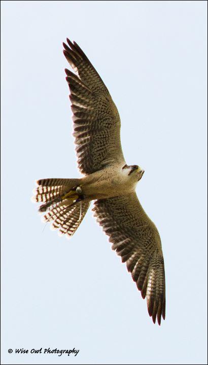 Lanner Falcon 4