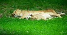 Lazy Lions 2