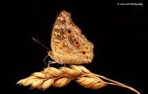 Lemon Pansy Butterfly 1