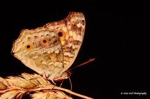 Lemon Pansy Butterfly 2