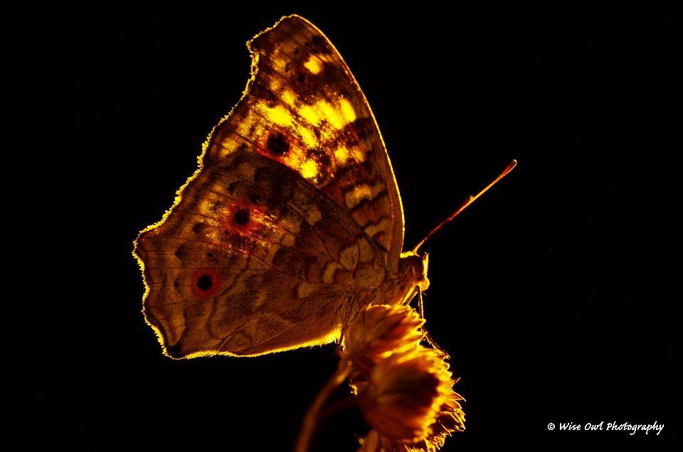 Lemon Pansy Butterfly 3