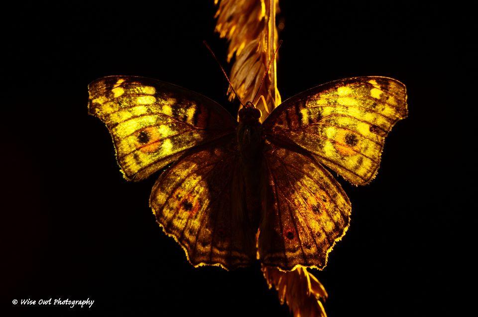 Lemon Pansy Butterfly 4