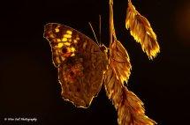Lemon Pansy Butterfly 5