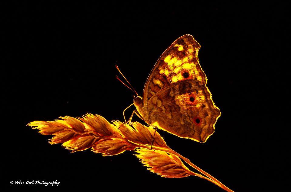 Lemon Pansy Butterfly 6