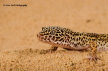 Leopard Gecko 5