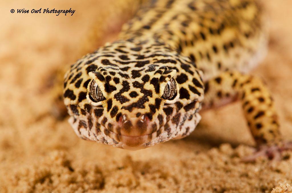 Leopard Gecko 6