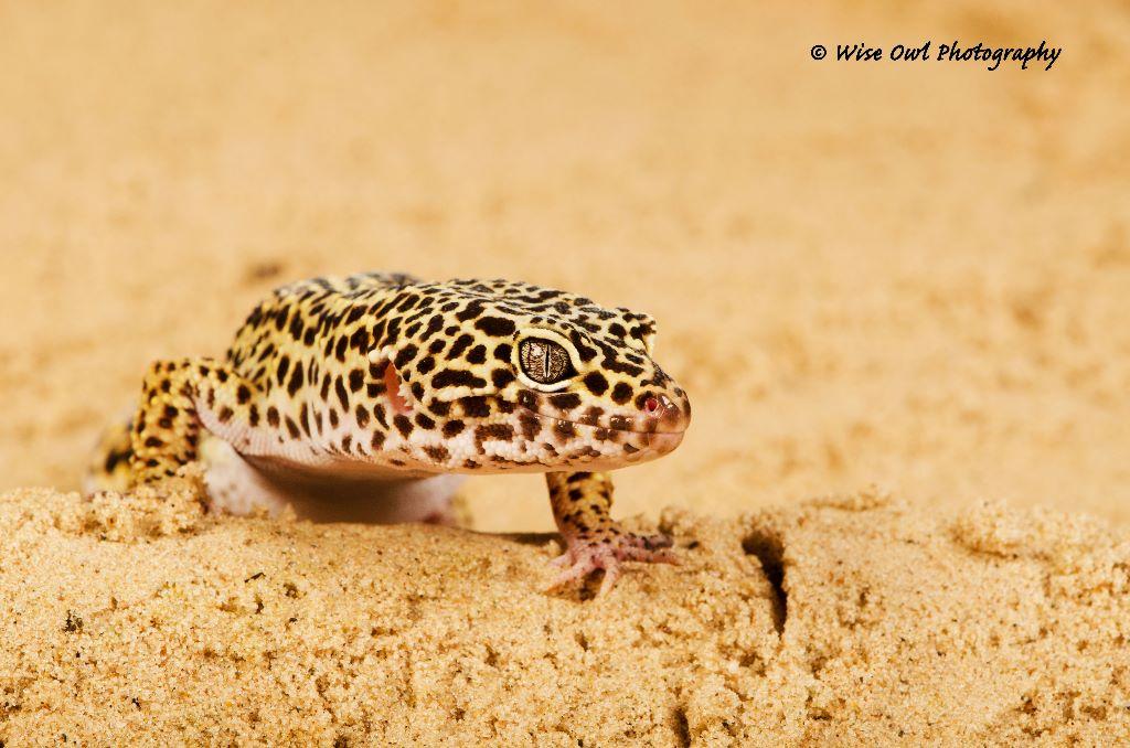 Leopard Gecko 7