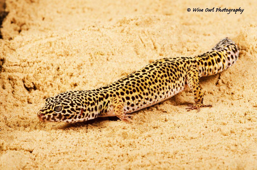 Leopard Gecko 8