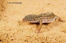 Leopard Gecko 9