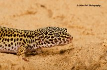 Leopard Gecko 10