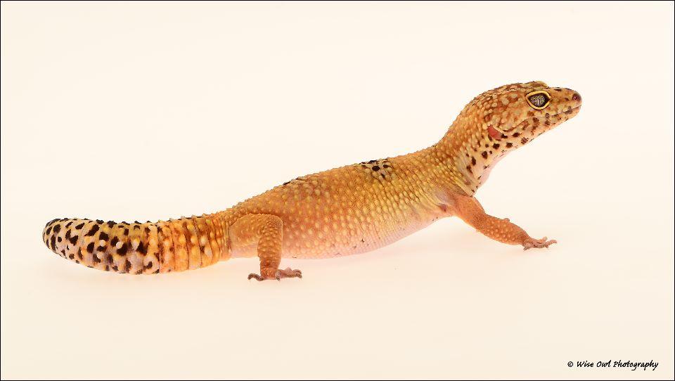 Leopard Geko 1