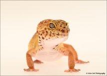 Leopard Geko 4