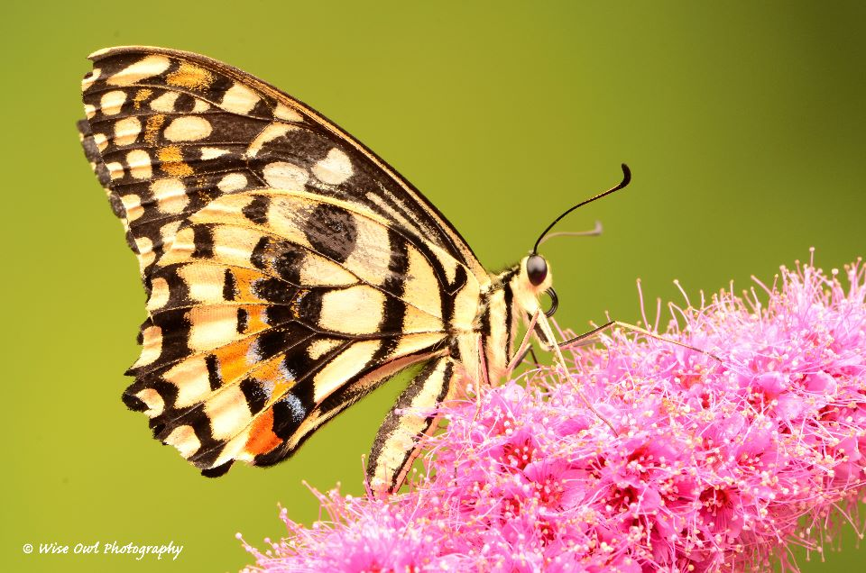 Lime Swallowtail Butterfly 1