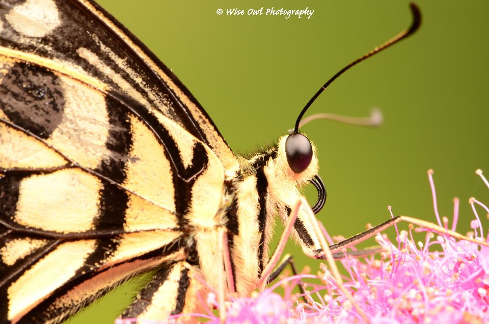 Lime Swallowtail Butterfly 2