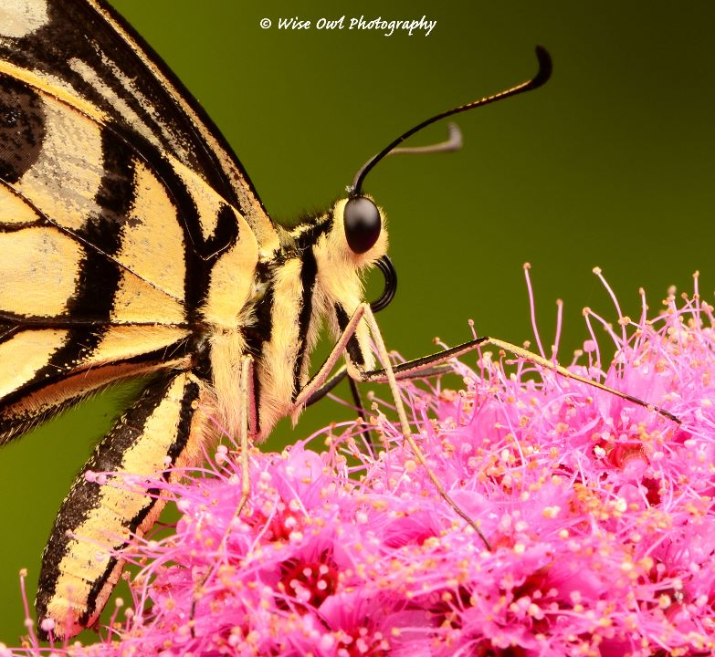 Lime Swallowtail Butterfly 3