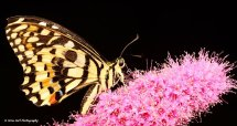 Lime Swallowtail Butterfly 4