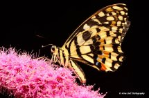 Lime Swallowtail Butterfly 5