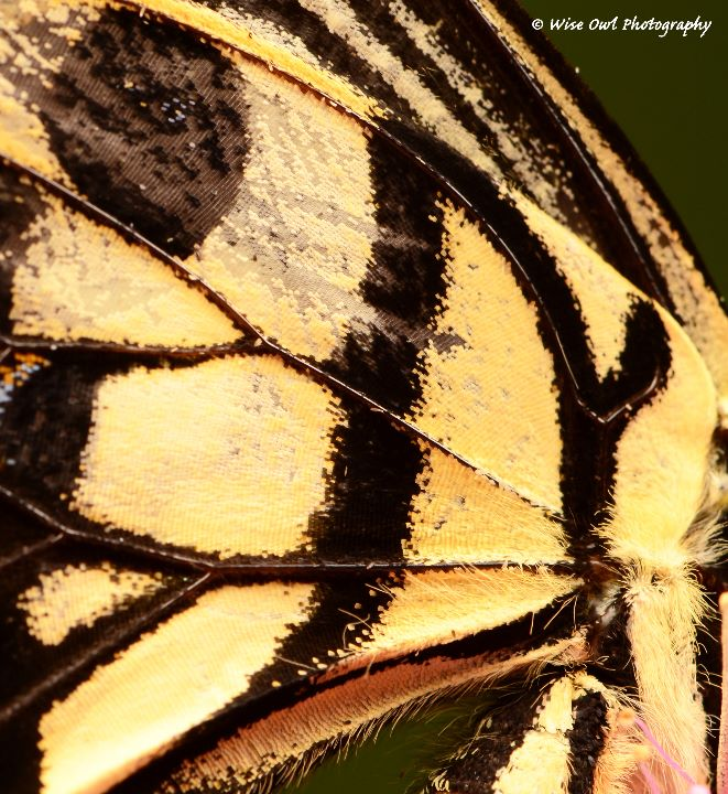 Lime Swallowtail Butterfly Wing 1