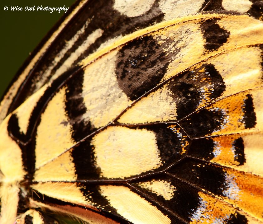Lime Swallowtail Butterfly Wing 2