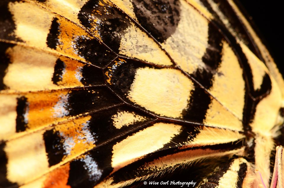 Lime Swallowtail Butterfly Wing 3