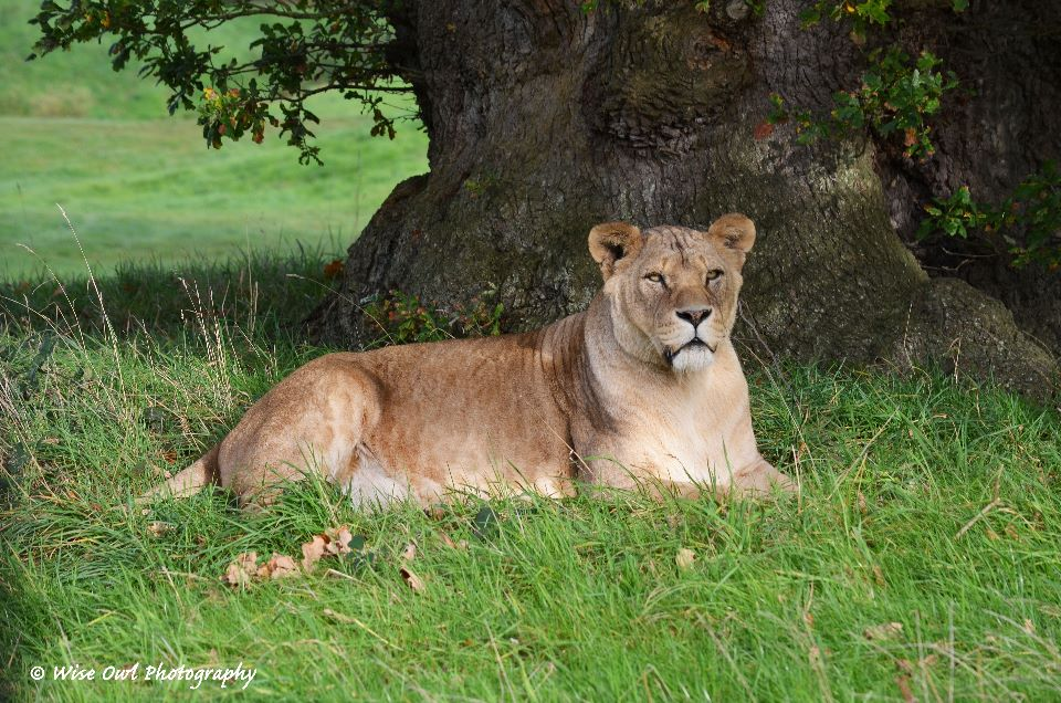 Lioness - Resting