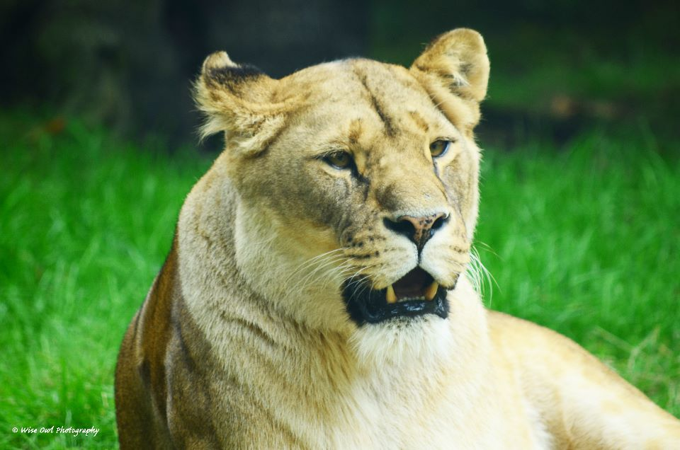 Lioness 12