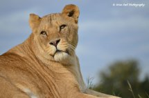 Lioness 7