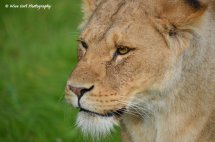 Lioness 9