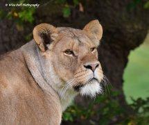 Lioness 10