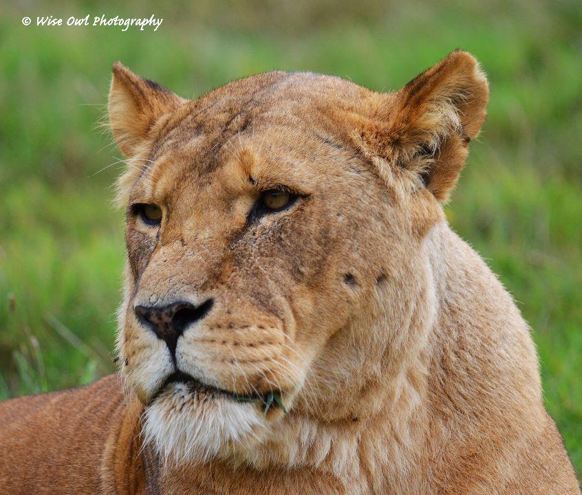 Lioness 6