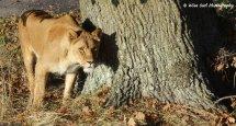 Lioness 13
