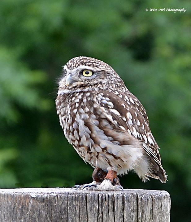 Little Owl 1