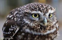 Little Owl 2