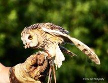 Long Eared Owl 2