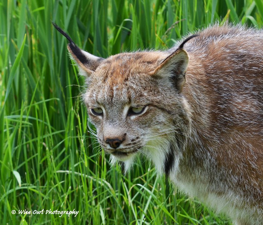 Lynx 3