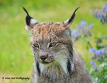 Lynx 7