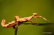 Macleays Spectre Stick Insect 1