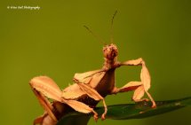 Macleays Spectre Stick Insect 2