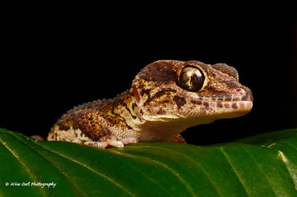 Madagascan Ground Gecko 2