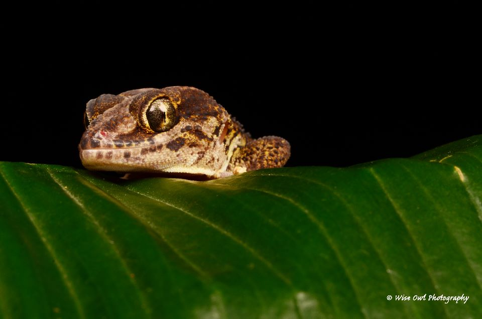 Madagascan Ground Gecko 3