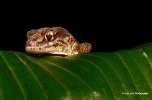 Madagascan Ground Gecko 3