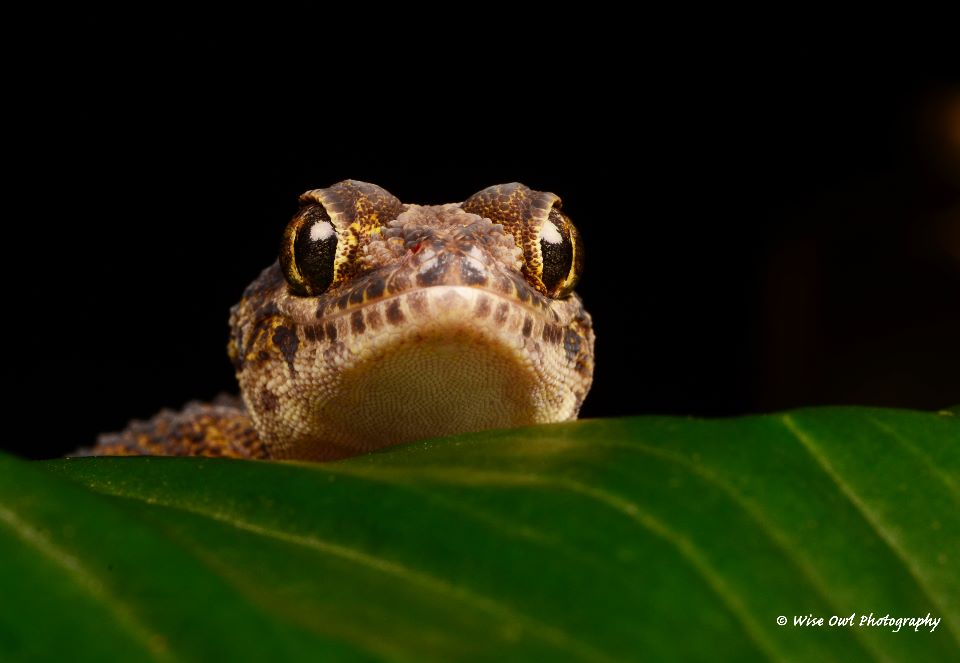 Madagascan Ground Gecko 4