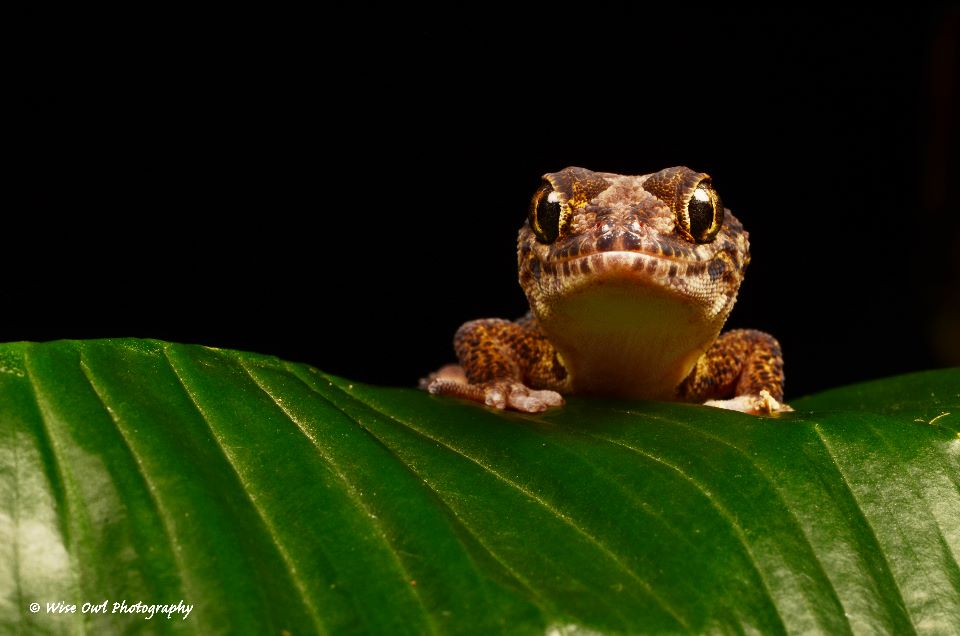 Madagascan Ground Gecko 5