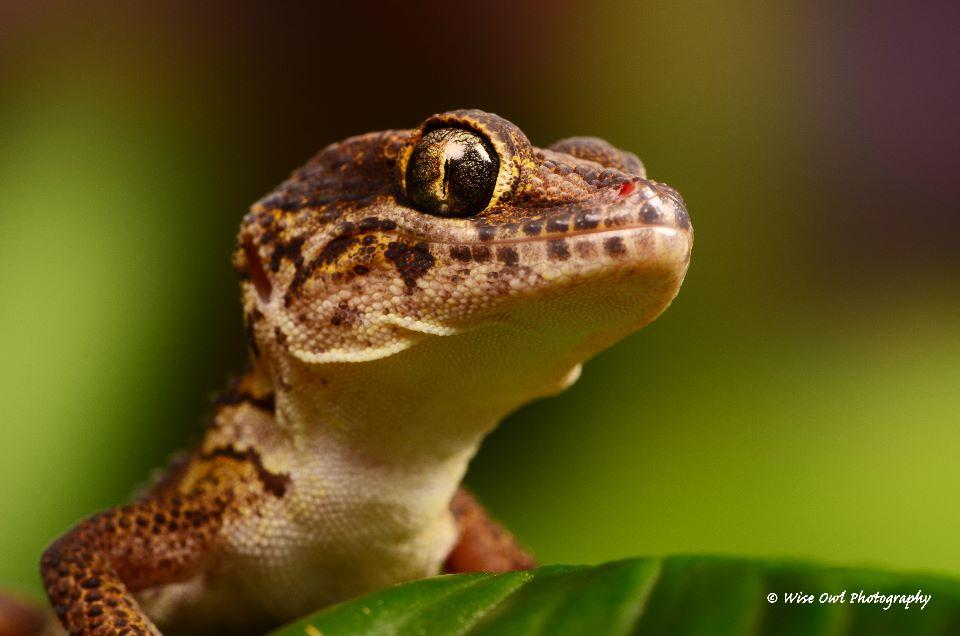 Madagascan Ground Gecko 6