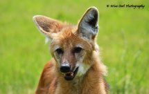 Maned Wolf 1