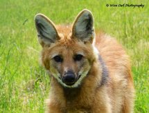 Maned Wolf 2