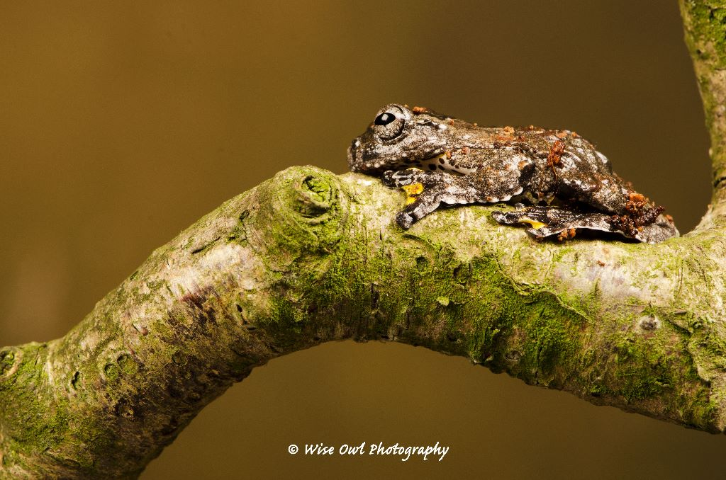 Marbled Tree Frog 1