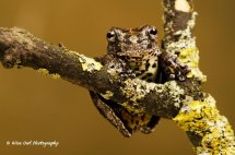 Marbled Tree Frog 2