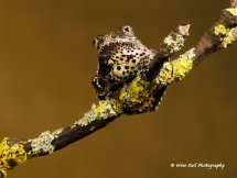 Marbled Tree Frog 4