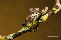Marbled Tree Frog 5